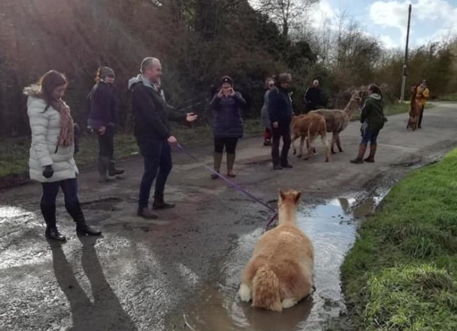 Alpacas walk the Greenway for Time to Talk Day
